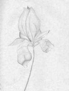 drawing-i-botonical
